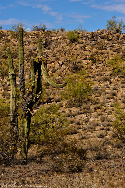 (Ele)Phant Cactus