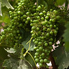 "Cabernet Franc grapes at the Vina Von Siebenthal in the Aconcagua Valley. See <a href=""http://www.vinavonsiebenthal.com/en/"">http://www.vinavonsiebenthal.com/en/</a>"