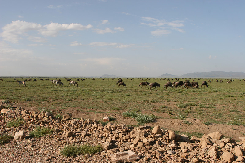 "On the Serengeti plain. First glimpse of the vast herds of wildebeest and zebras during the Great Annual Migration. <a href=""http://www.wildwatch.com/great_migration"">http://www.wildwatch.com/great_migration</a>"