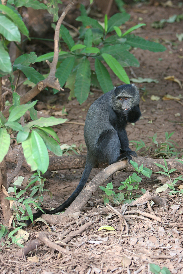 Blue Monkey at  Lake Manyara National Park.
