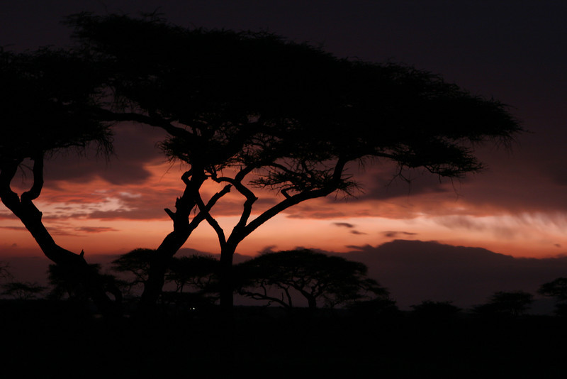 Acacia Trees at sunset.