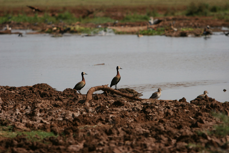 White-faced Whistling Ducks at  Lake Manyara National Park.