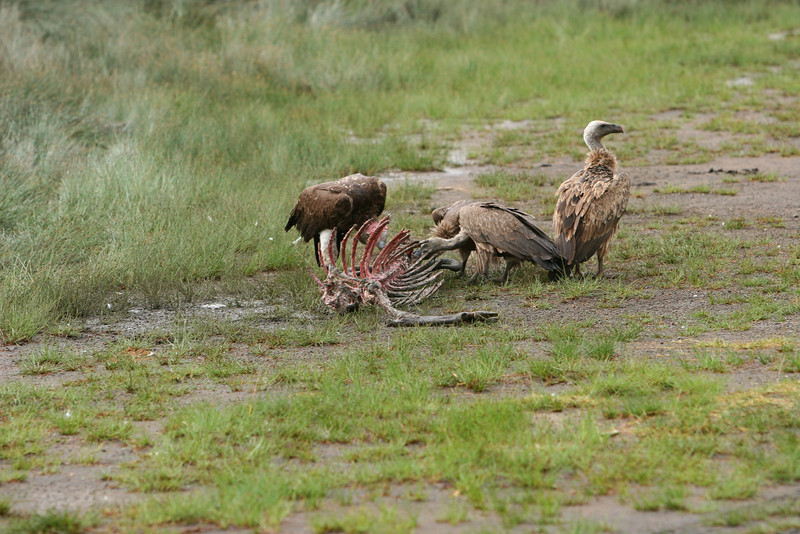 Vultures surround the lions, waiting.
