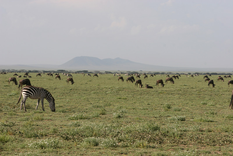 "On the Serengeti plain. First glimpse of the vast herds of wildebeest and zebras during the Great Annual Migration. <a href=""http://www.wildwatch.com/great_migrationr"">http://www.wildwatch.com/great_migrationr</a>"