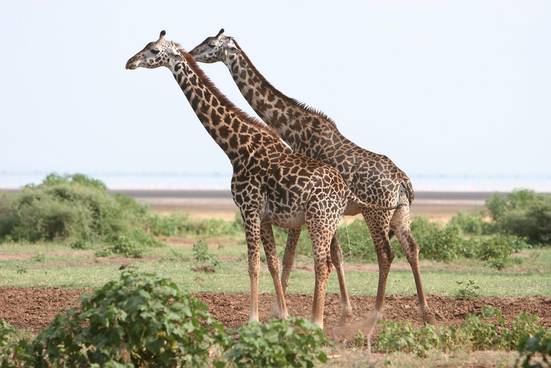 Girraffes at  Lake Manyara National Park.