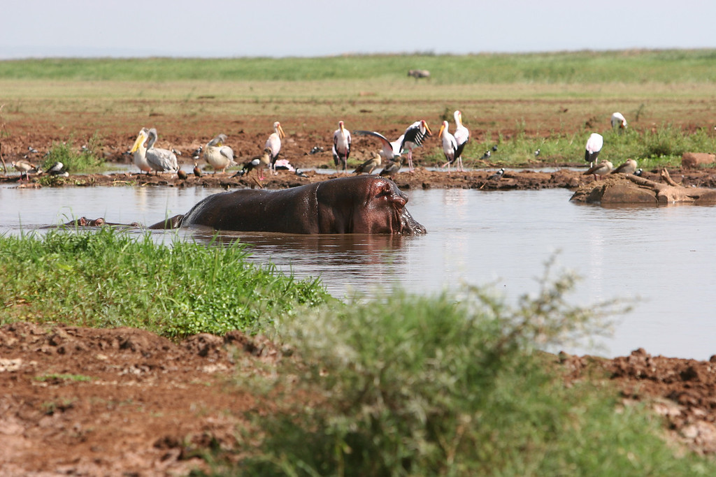 Hippos, Yellow Billed Storks, and Pelicans at  Lake Manyara National Park.
