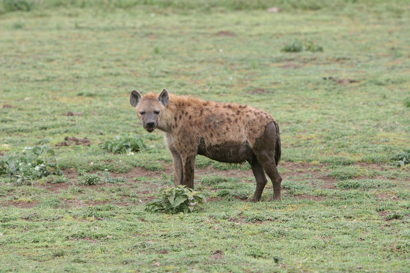 A Hyena no longer in the mud.