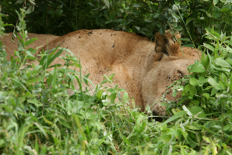 Mom has moved the kill further away from the river into the brush and sleeps.