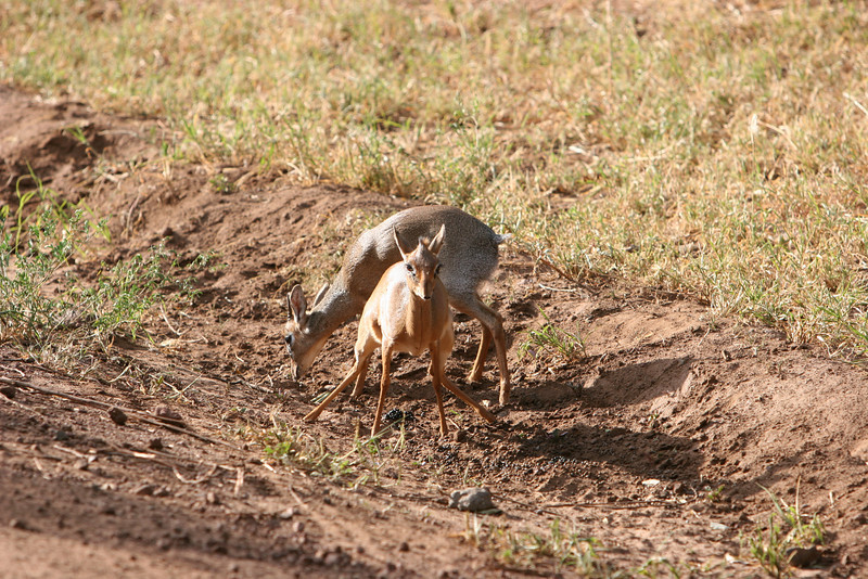 Dik-Dik Antelope at  Lake Manyara National Park.