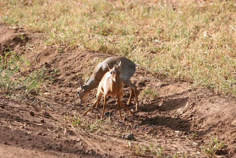 Dik-Dik Antelope at  Lake Manyara National Park.