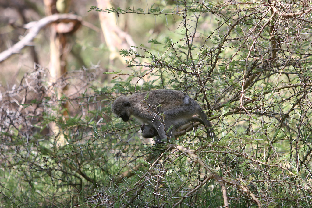Vervet Monkey (?) at  Lake Manyara National Park.