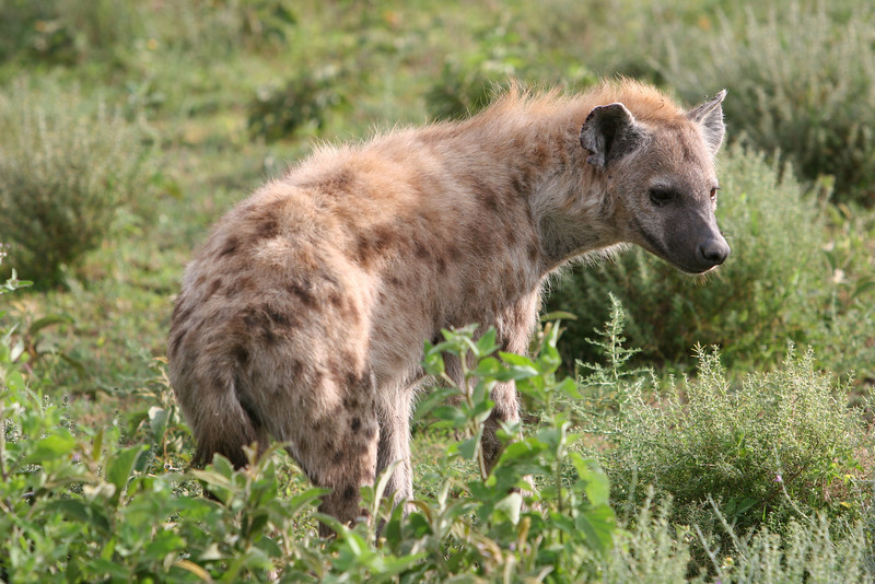 Hyena woken up from sleeping in some high plants on the open plain.