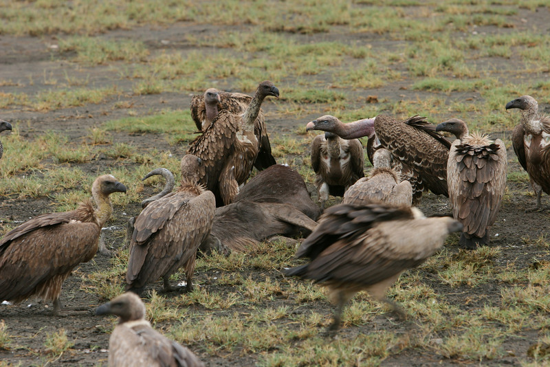 Nearby vultures with an old kill.