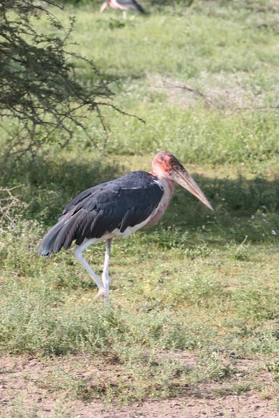 Marabou Stork.