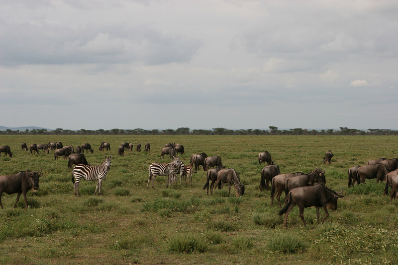 Wildebeest and Zebra on the Serengeti.