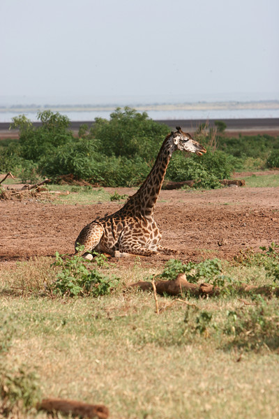 Girraffe at  Lake Manyara National Park.
