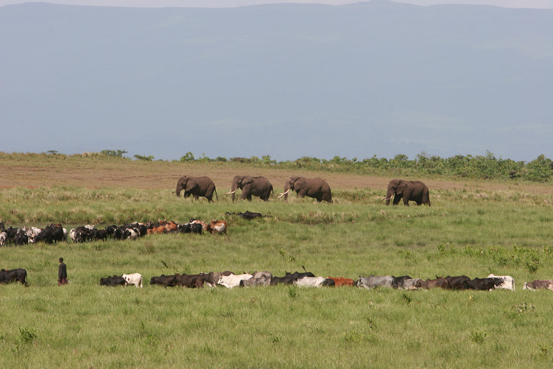Along route b-144, southwest of the Ngorongoro Crater. Masi herding their cattle and ignoring the larger beasts.