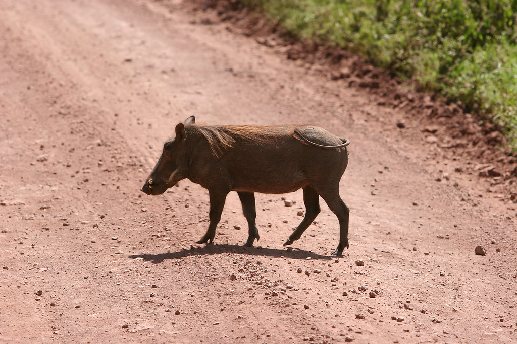 Warthog at  Lake Manyara National Park.