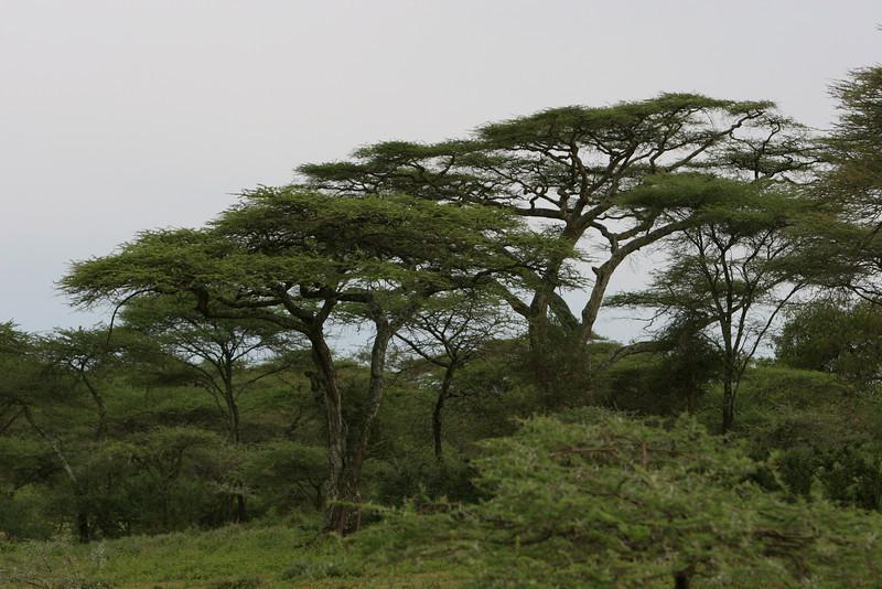 Acacias after sun rise.