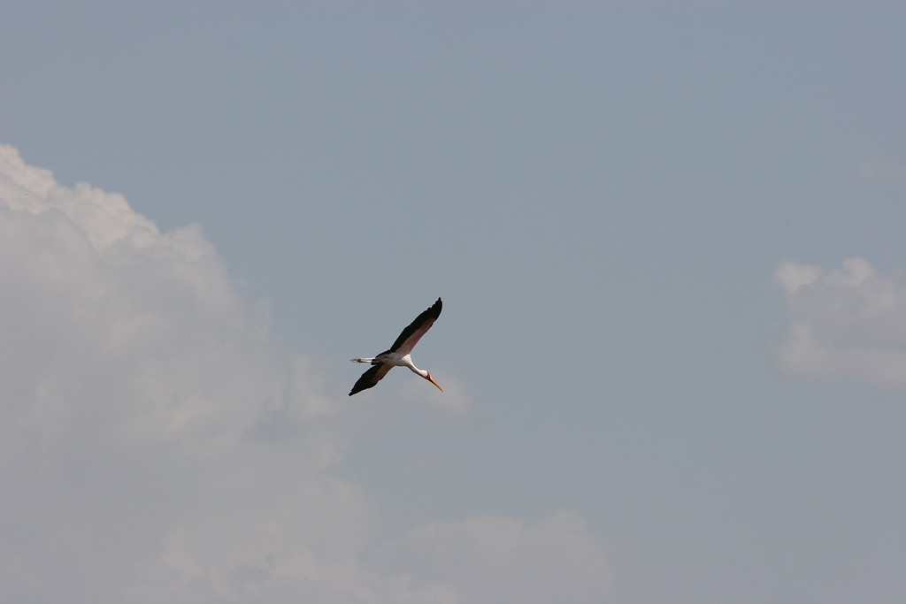 Yellow Billed Stork at  Lake Manyara National Park.