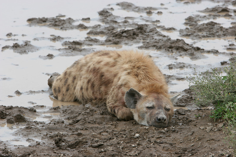 A Hyena in the mud.