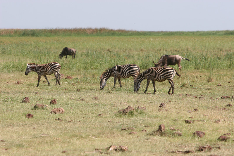 Zebras at  Lake Manyara National Park.