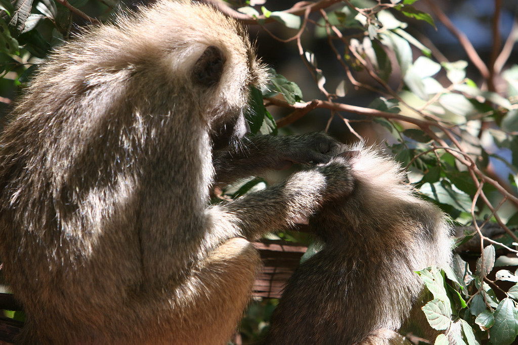 Baboons at  Lake Manyara National Park.