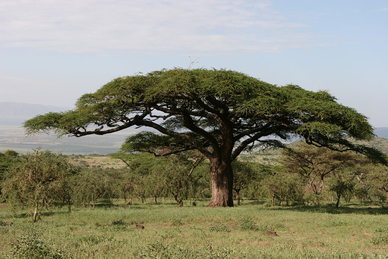 Very old Acacia tree.