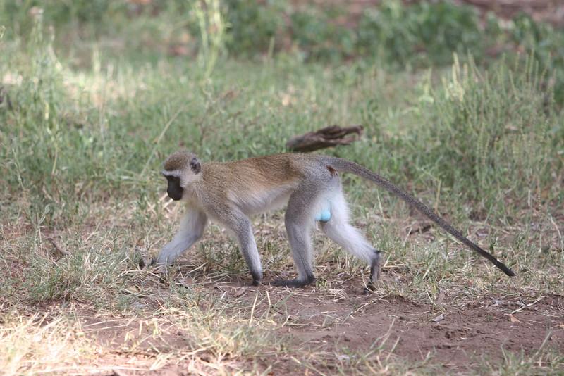 Vervet Monkey (?) at  Lake Manyara National Park.