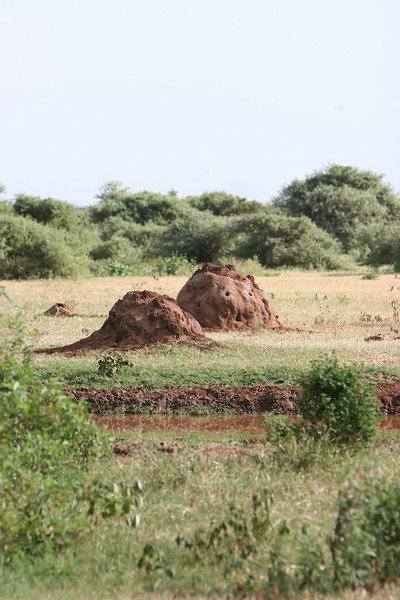 Termite mounds at  Lake Manyara National Park.