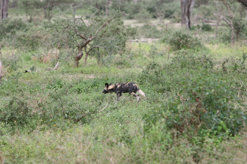 Departure morning. Excitement among the guides. We think a leopard, but it's increasingly rare wild dogs.