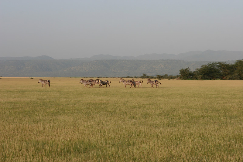 Zebras on the plains east of the Migunga Forest Camp and Lake Manyara National Park.