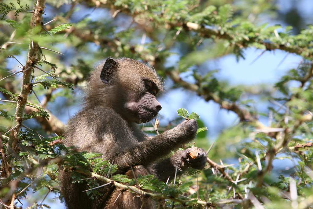 ___? Monkey at  Lake Manyara National Park.