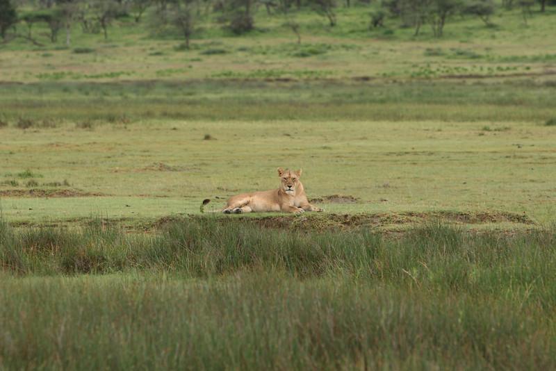 Lions along the river.