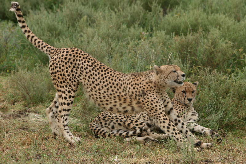 Cheetah on higher ground away from the river bottom.