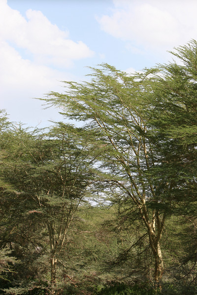 Yellow barked Acacia trees at  Lake Manyara National Park.