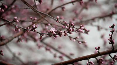 Blossom Buds, Kunming Lake, Beijing