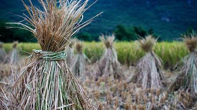 Rice Harvest, Yulong River, Guangxi