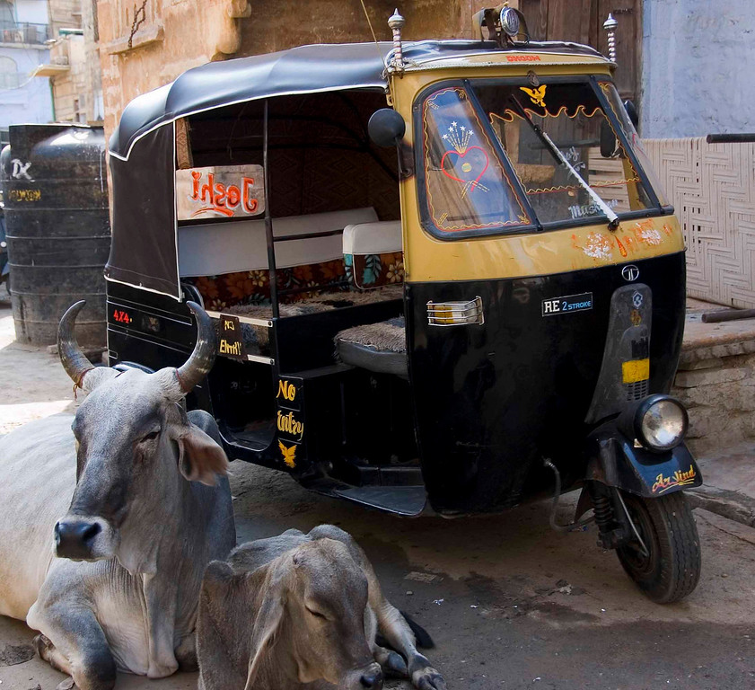 Jaisalmer is over-run with sacred cows.