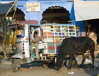 Tuk tuk arguing with a sacred cow
