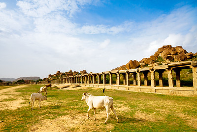 08IB332 Cattle Hampi Hindu India Karnataka Temple