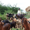 08IB317 Farmers Goats Hampi India Karnataka Kids Livestock