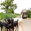 08IB266 Aihole Pattadakal Farmer Goats India Karnataka Men