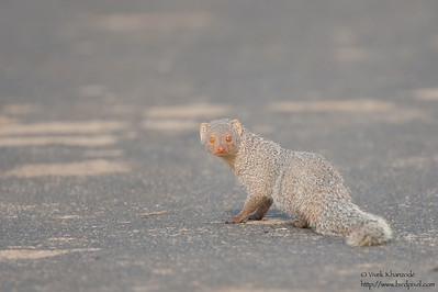 Indian Gray Mongoose - Kutch, Gujrat, India