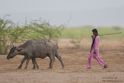 Buffalo herder - Kutch, Gujrat, India