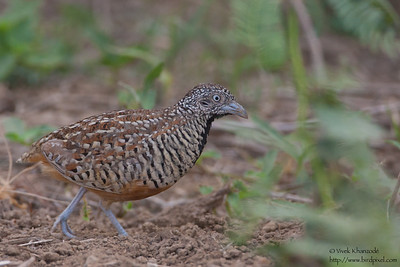Barred Buttonquail - Kutch, Gujrat, India