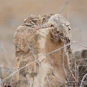Short-tailed Agama - Kutch, Gujrat, India