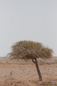 Acacia tree - Kutch, Gujrat, India