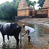 08IB077 Cattle Farmer Hindu India Maharashtra Menavali Men