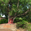 08IB074 Hindu India Maharashtra Menavali Men Temple Tree